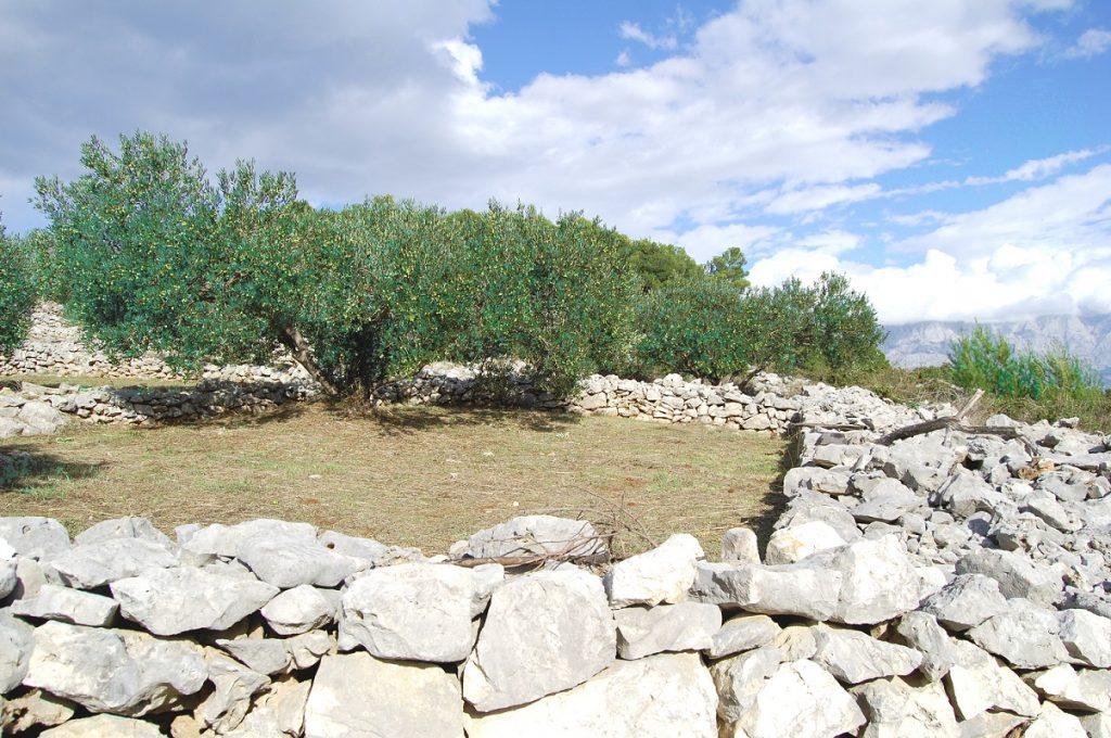 A Brač olive grove